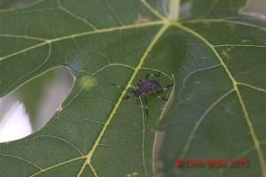 Acer saccharinum con Halyomorpha halys
