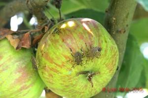 Halyomorpha halys su mela