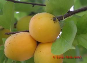 Halyomorpha halis su albicocca
