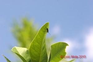 Halyomorpha halis su limone