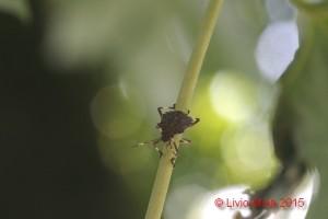 Halyomorpha halys - Acer saccharinum