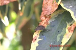 Halyomorpha halys - Pieris