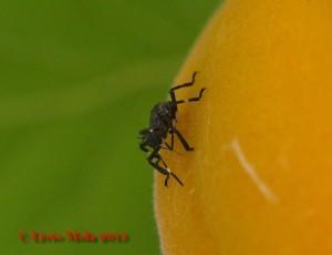 Halyomorpha halys - albicocca