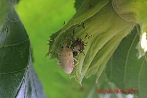 Halyomorpha halys - muta su nocciola