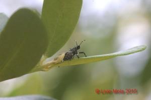 Halyomorpha halys - neanide su Ulivo
