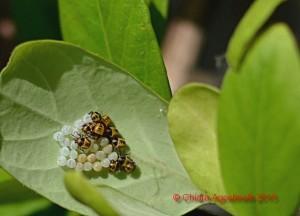 Halyomorpha halys - ovatura su Caprifoglio