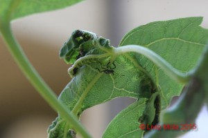 Halyomorpha halys su Acer saccharinum
