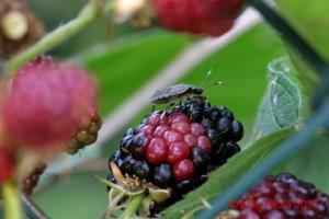 Halyomorpha halys su Rubus
