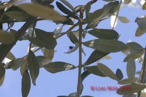 Halyomorpha halys su Ulivo