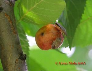 Halyomorpha halys su ciliegia