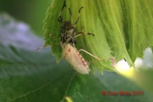 Halyomorpha halys su nocciola - muta