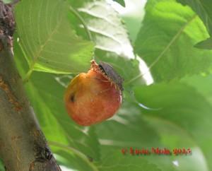 Halyomorpha su ciliegia