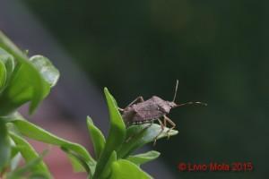 Halyomorpha halys - Aptenia cordifolia