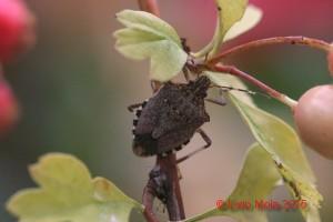 Halyomorpha halys - Crataegus
