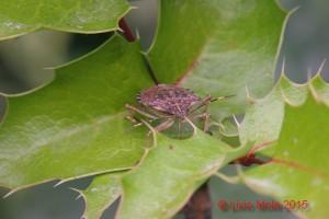 Halyomorpha halys - Ilex aquifolium