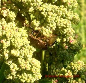 Halyomorpha halys - Quinoa