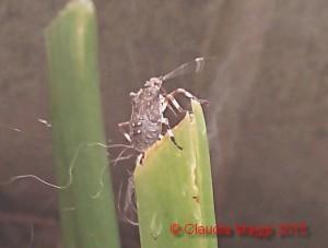 Halyomorpha halys su Hosta plantaginea