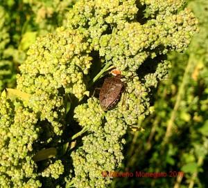 Halyomorpha halys su Quinoa