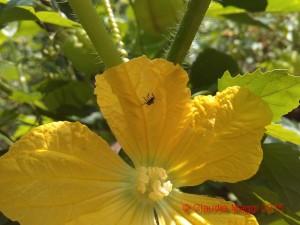 Halyomorpha halys su fiore di Benincasa hispida (1)