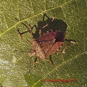 Halyomorpha halys su foglia di fico (1)