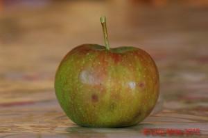mela con punture di Halyomorpha halys